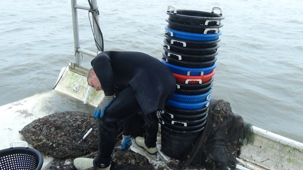 Clam worker in a wet suit bending over while working with clams in Cedar Key